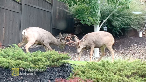 B.C. RESIDENTS GET FRONT-ROW SEAT TO MATING SEASON DISPUTE IN THEIR BACKYARD