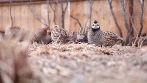 Quail Encounter at the Medicine Park Aquarium & Natural Sciences Center