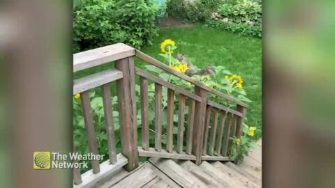 PESKY SQUIRREL RUNS AWAY WITH SUNFLOWERS FROM THE GARDEN