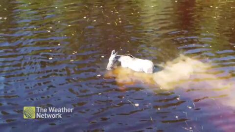 PARTIALLY WHITE MOOSE COOLS OF AMONGST THE LILY PADS