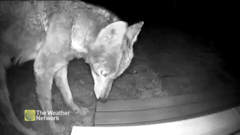 UP CLOSE WITH A COYOTE ON SECURITY CAM OF A HOUSE IN TORONTO NEIGHBOURHOOD