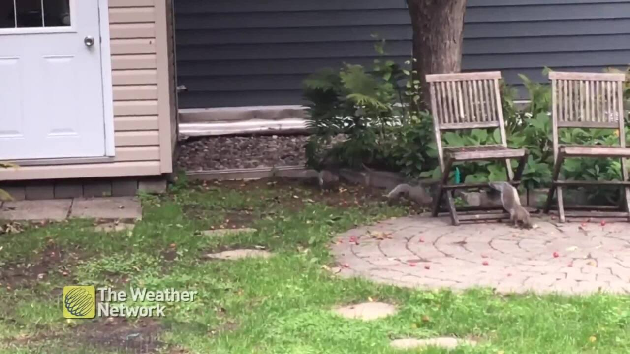 SQUIRRELS USE CHAIR AS OBSTACLE COURSE AS THEY PLAY AROUND
