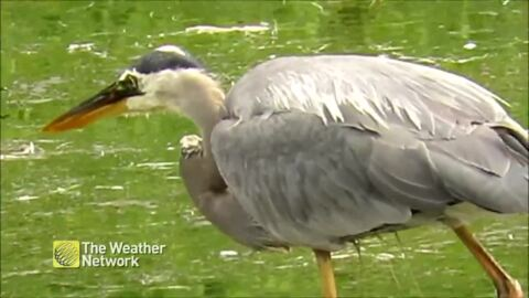 WATCH THIS HERON CATCH A FISH IN ONE MOVE