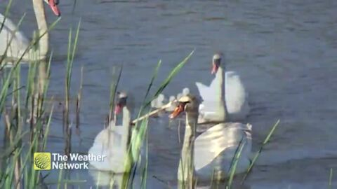 CUTE SWAN FAMILY SWIMMING IN THE POND IS A SIGHT TO SEE