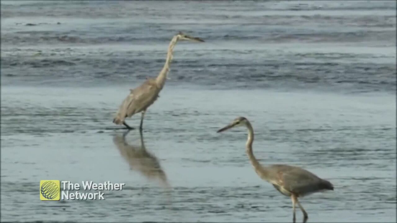 PAIR OF BLUE HERONS GO FISHING IN QUEBEC