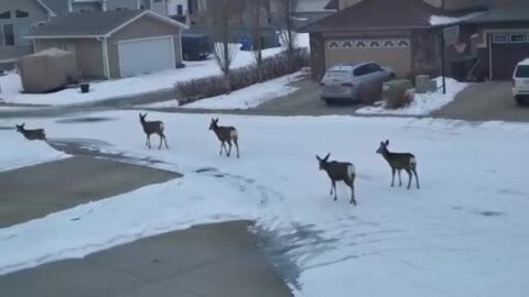 THESE DEER WERE OUT FOR A MORNING STROLL IN CALGARY