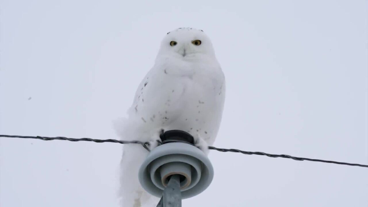 THIS SNOWY OWL LOOKED MAJESTIC UNTIL IT DID THIS
