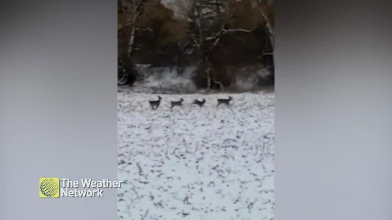 REACTING TO 'SANTA'S REINDEER' PRANCING ACROSS A SNOWY FIELD