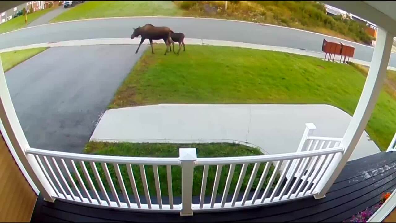 MAMA MOOSE AND HER BABY MAKE A REPEAT VISIT TO THIS NEWFOUNDLAND HOME