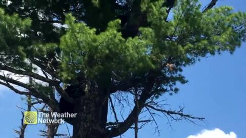 CUTE BLACK BEAR CUBS CLIMB UP TREE WITH THEIR MAMA