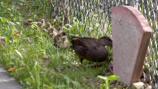 Sauvetage d'une famille de canards