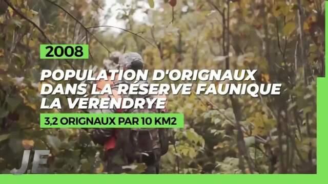 30% moins d'orignaux dans la réserve faunique de La Vérendrye depuis 2008