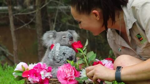 Koala Joey showered with love for her first Valentine's Day