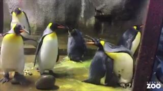 Gay penguins take chick from straight parents at Denmark Zoo