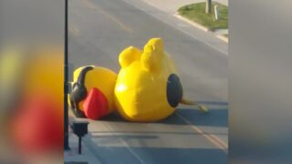 Huge inflatable duck drifts aimlessly down street