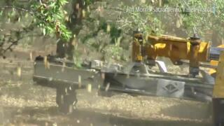 We can't get enough of Sacramento Valley almond harvest and shaking of trees