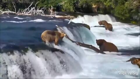 See a bear go on nature's version of a Slip 'N Slide in a river filled with the creatures