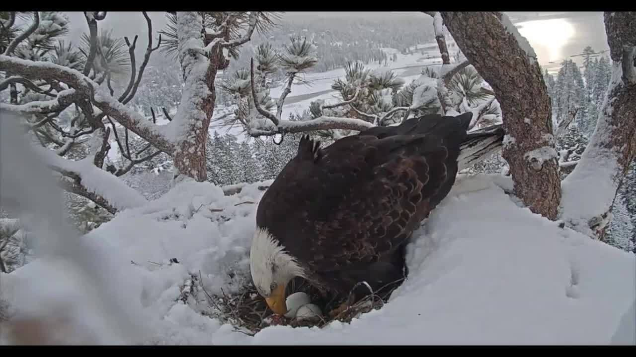 Bald eagles have found themselves a new home: Suburbia