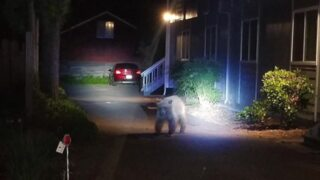 Watch: Black bear goes on early-morning jaunt in downtown Healdsburg