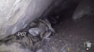 Watch these four mountain lion cubs be adorably fierce for the camera