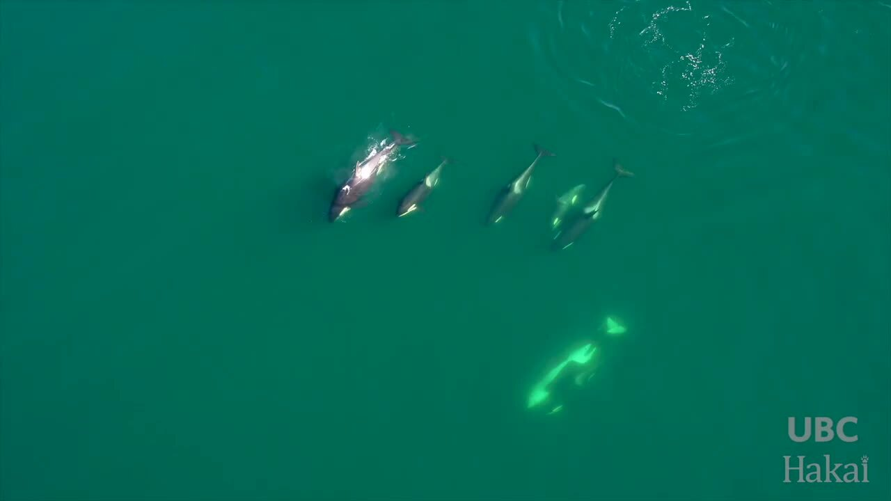 Drone, underwater footage of orcas gives intimate look at killer whales' family life