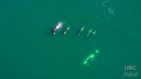 Drone video shows killer whale pod in British Columbia