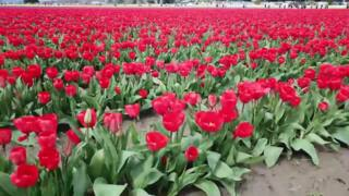 Skagit Valley Tulip Festival in full bloom
