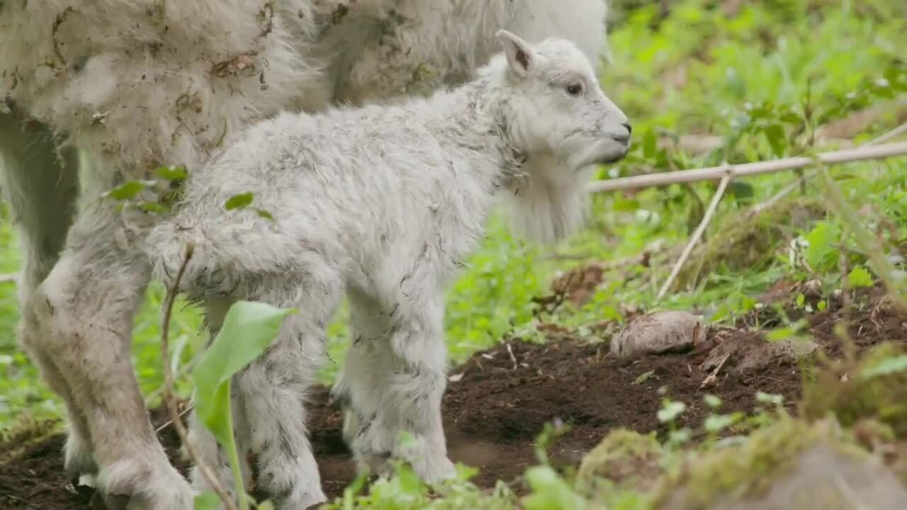 Baby mountain goat born for the first time in 14 years at Northwest Trek