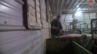 This graphic undercover video of beaten piglets, adult pigs got a Kentucky farm in trouble