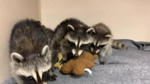 Abandoned baby raccoons found near Blue Grass Airport are safe and sound (and super cute)