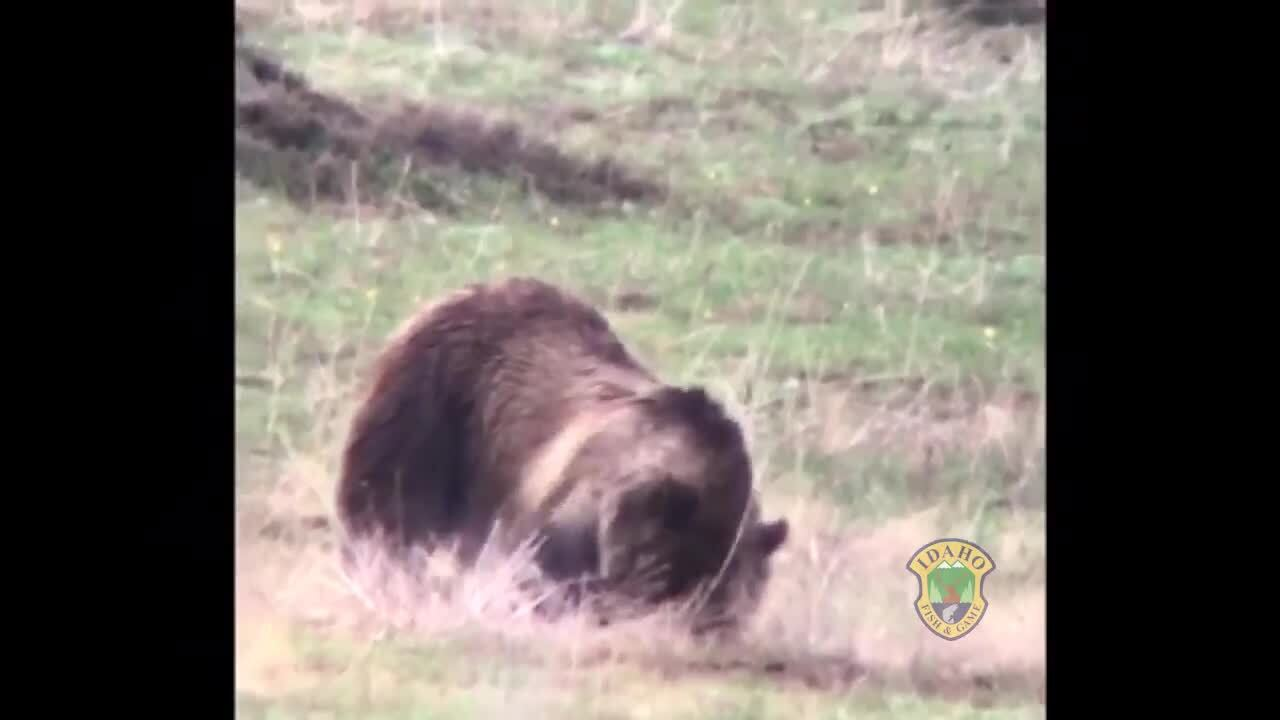 Watch hungry grizzly dig for gophers in East Idaho — while her cubs watch
