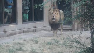 Zoo Boise's new lion Revan takes his first steps in his new exhibit