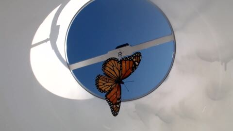 See a monarch butterfly in a flight simulator.