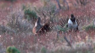 'It's the coolest thing ever.' Watch the renowned sage grouse mating ritual.