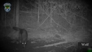 One trail camera, seven species of Idaho wildlife - from moose to wolf