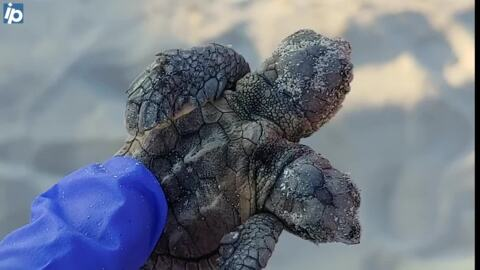 Check out this two-headed sea turtle hatchling found on a Hilton Head Island SC beach