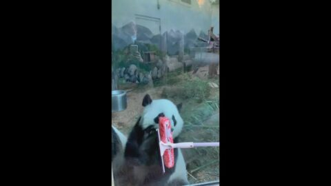 Panda twins mesmerized by squeegee at Zoo Atlanta