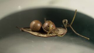 Parasitic plant attacks parasitic insect on South Florida oak tree