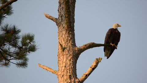 'Shake Ya Tailfeather': Bald eagle caught on camera doing a shimmy in Murrells Inlet