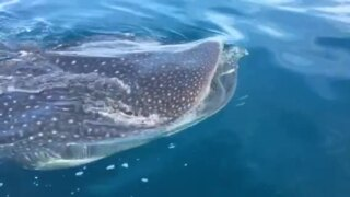 Whale sharks again spotted by boater off Anna Maria Island