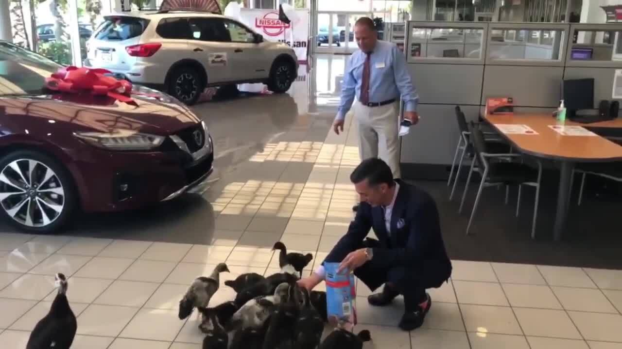 'They put people in a good mood': Family of ducks live at this Florida car dealership