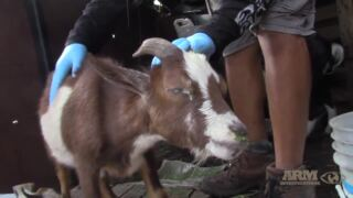 Video shows neglected goats and other animals at farm in Sunrise
