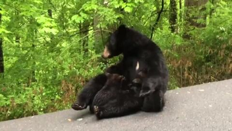 Black Bear Cubs in Great Smoky Mountains Can't Wait for Mother's Milk