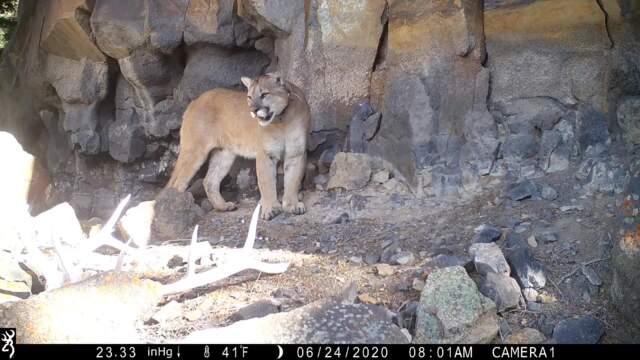 Yellowstone Cougar