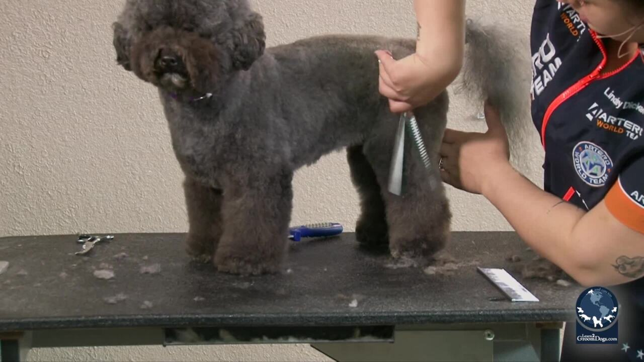 Thumbnail for How to Do an Easy Personality Trim on a Poodle Mix: Styling the Body, Legs, Feet and Tail (Part 1 of 2-Part Series)