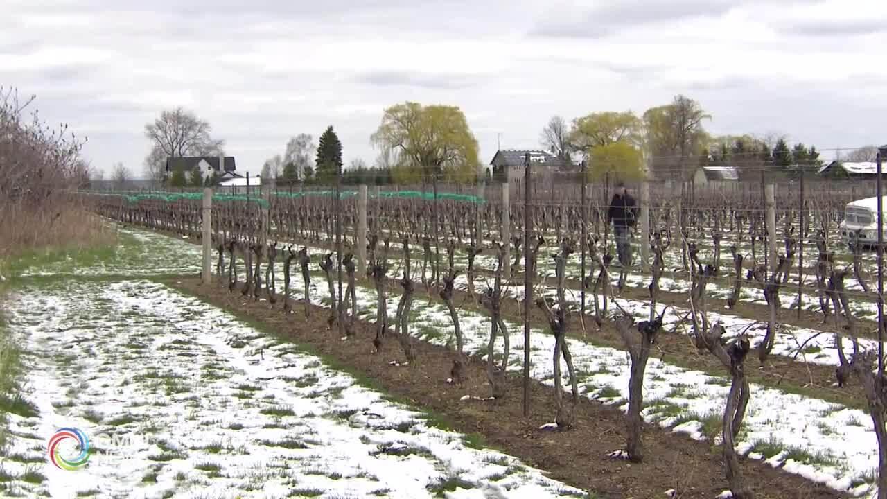 Neve ad aprile in Ontario, l'impatto del maltempo sull'agricoltura
