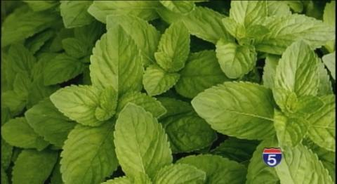 Can Rosemary and Spearmint Help with Memory?