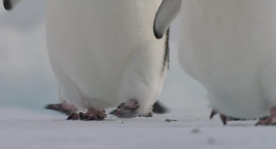 Play trailer for Penguins (Disneynature)
