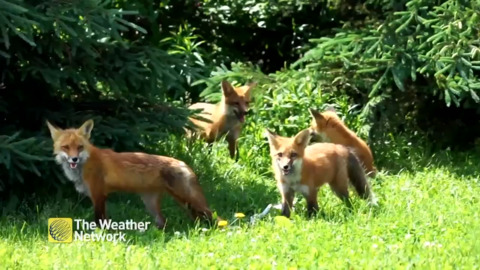 CAUGHT ON CAMERA: FOUR BABY FOXES PLAYING IN A PARK IN ONTARIO