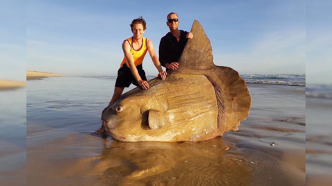 RARE GIANT SUNFISH WASHES UP ON A SHORE IN AUSTRALIA